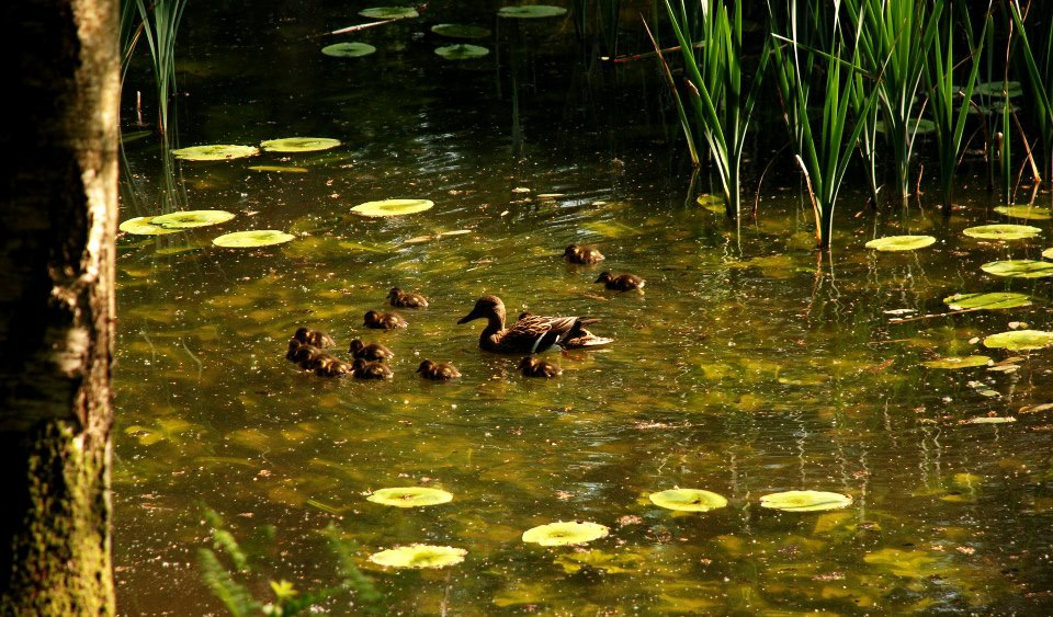 A Mother Mallard and her brood of ducklings.