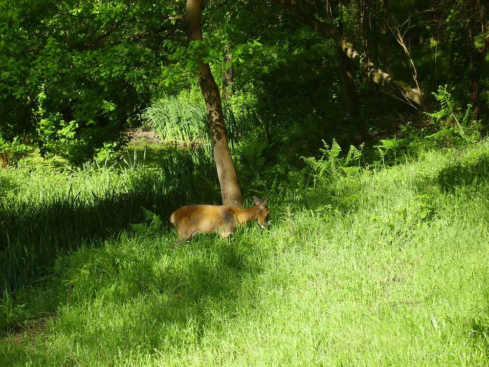 A Roe Deer.