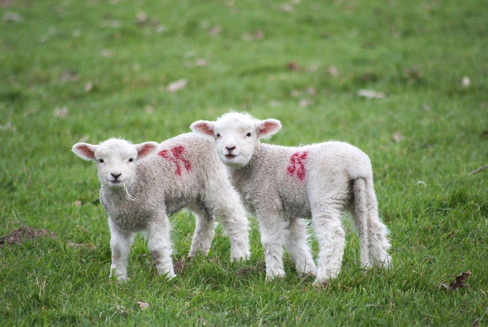 animal-rights-sheep