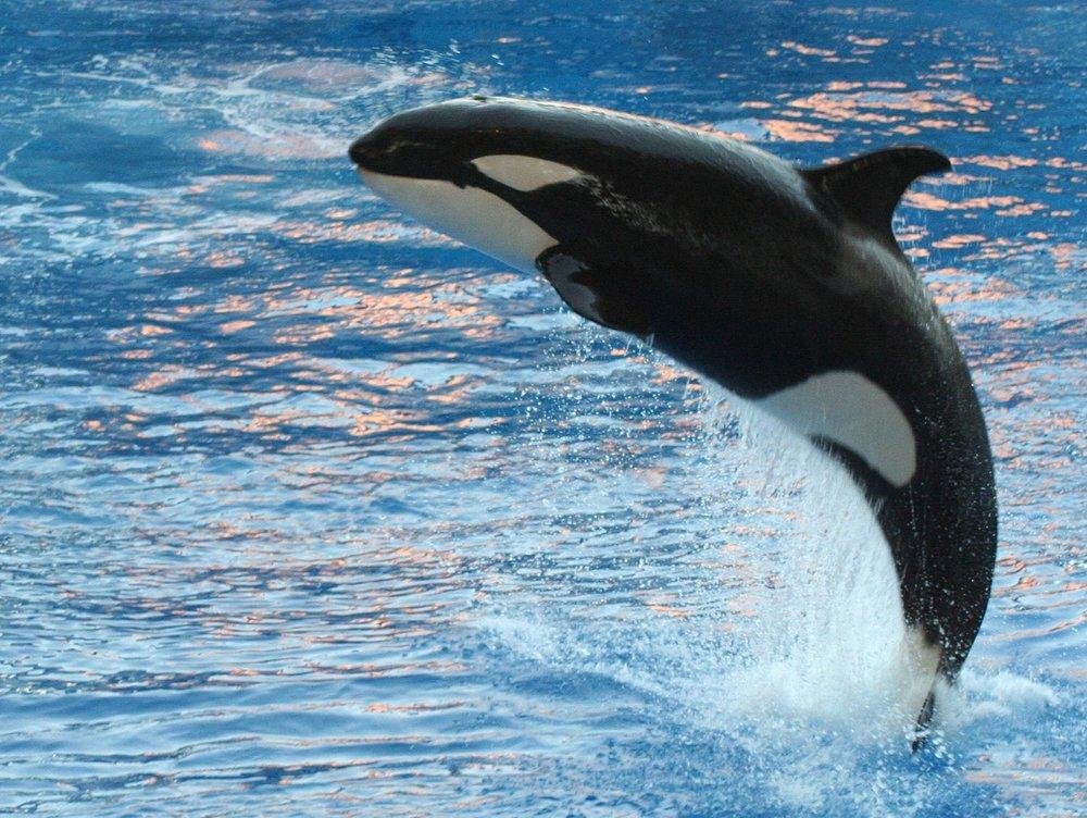 seaworld-orcas