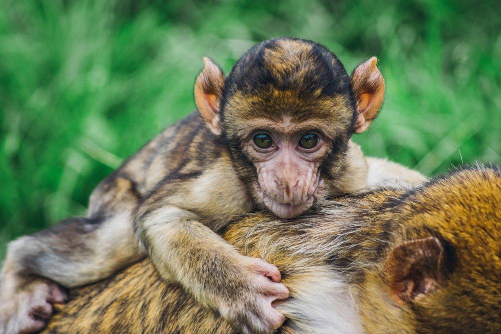 stop-abusing-baby-monkeys