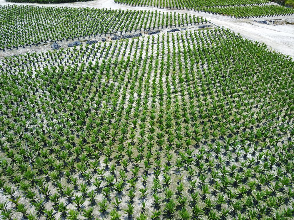 nursery-oil-palm-plantation-1332261.jpg