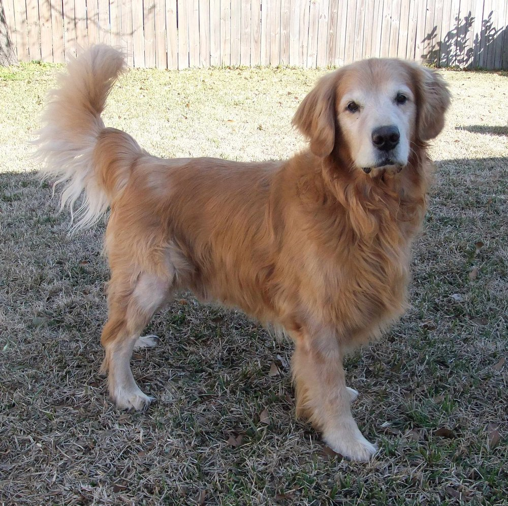 Welcome to Gulf South Golden Retriever rescue - Rescuing Goldens since 2003