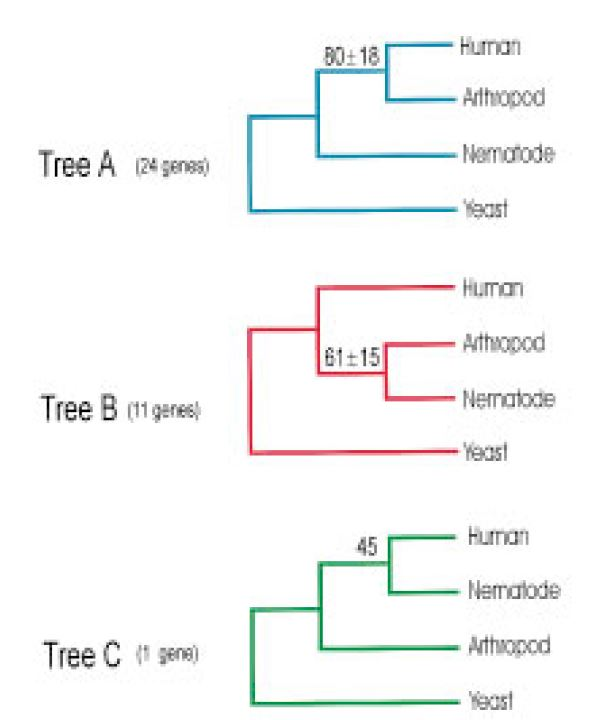 Figure showing the three possible trees from an early genomic study. Tree B was supported by the most genes and is now widely accepted.