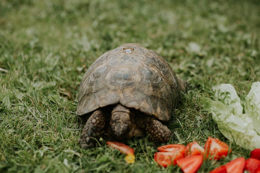 Wedding ring on pet tortoise