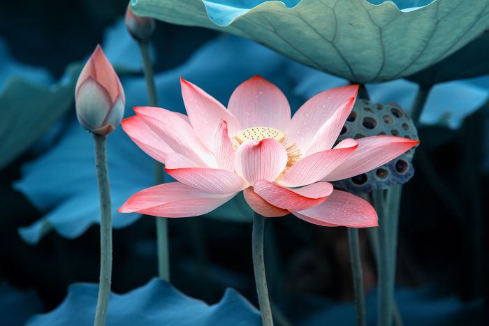 Lotus Flower RM
