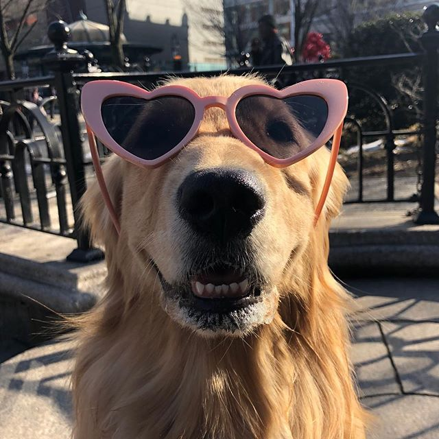 Will you be my Valentine? I'll be yours!❤️❤️ #ValentinesDay #LoveYouAll #PuppyLove #Goldens_Glee