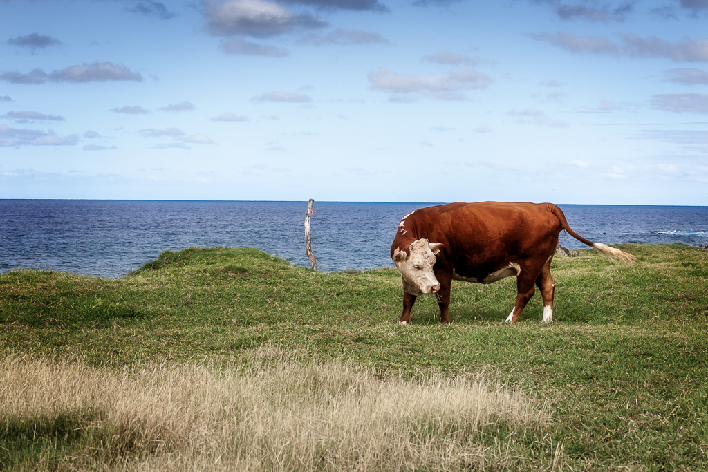 Cow, Paia, Maui © ginkaville.com