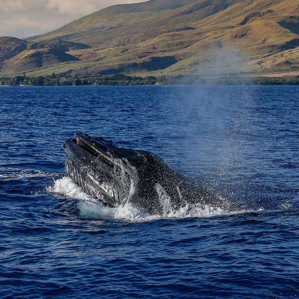Humpback Whale, Maui © ginkaville.com