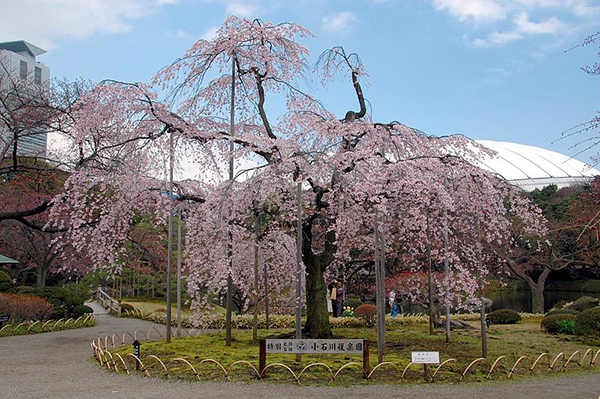 The cherry blossoms in Koishikawa Kōrakuen Garden along with the historical garden layout makes it easy to forget you're not in the Edo period. Image source under cc license, no attribution required.