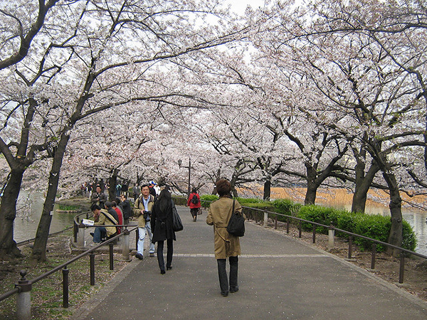 The beauty of the cherry blossoms fills Ueno Park in spring. Image source:  Gavin Anderson  under cc license