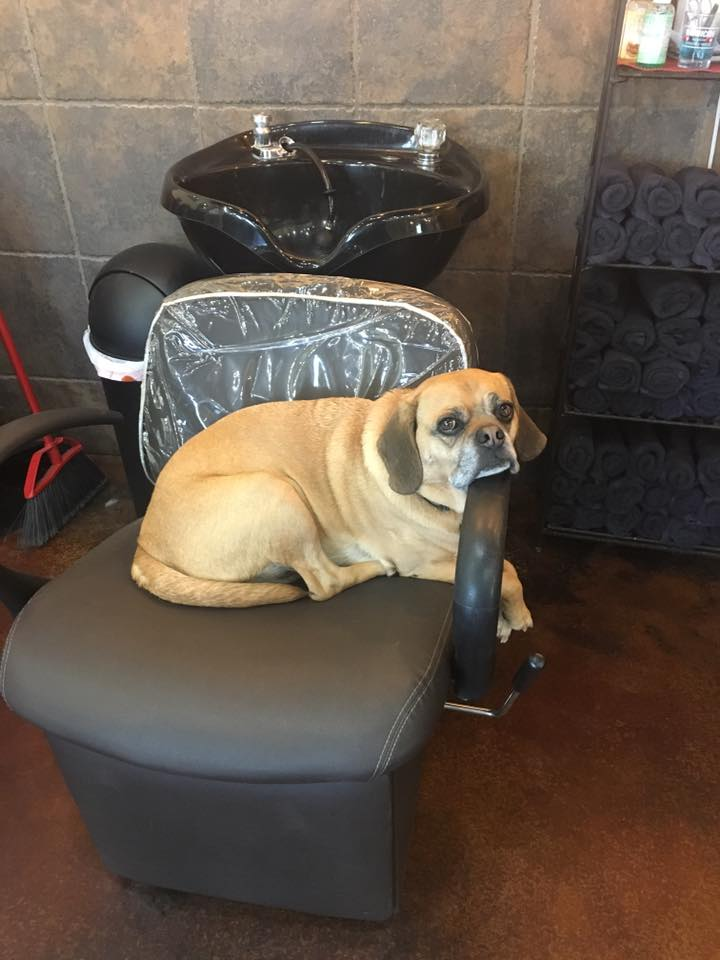 Chance. Salon Pup/Door Greeter - If you are a regular guest in our salon you probably recognize this sweet face. Chance is our 8 year old puggle who happens to love to come to work with our owner, Sally. He is a wonderful door greeter with a love of cookies and naps in the sun. We just ask that you don't mention anything about the UPS man - he gets a little worked up ;)