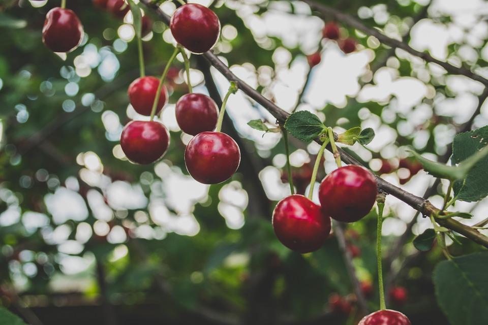 cherries-839864_960_720.jpg