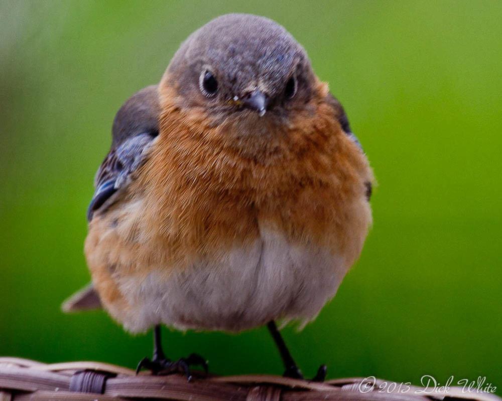 Blue Bird With Attitude.jpg