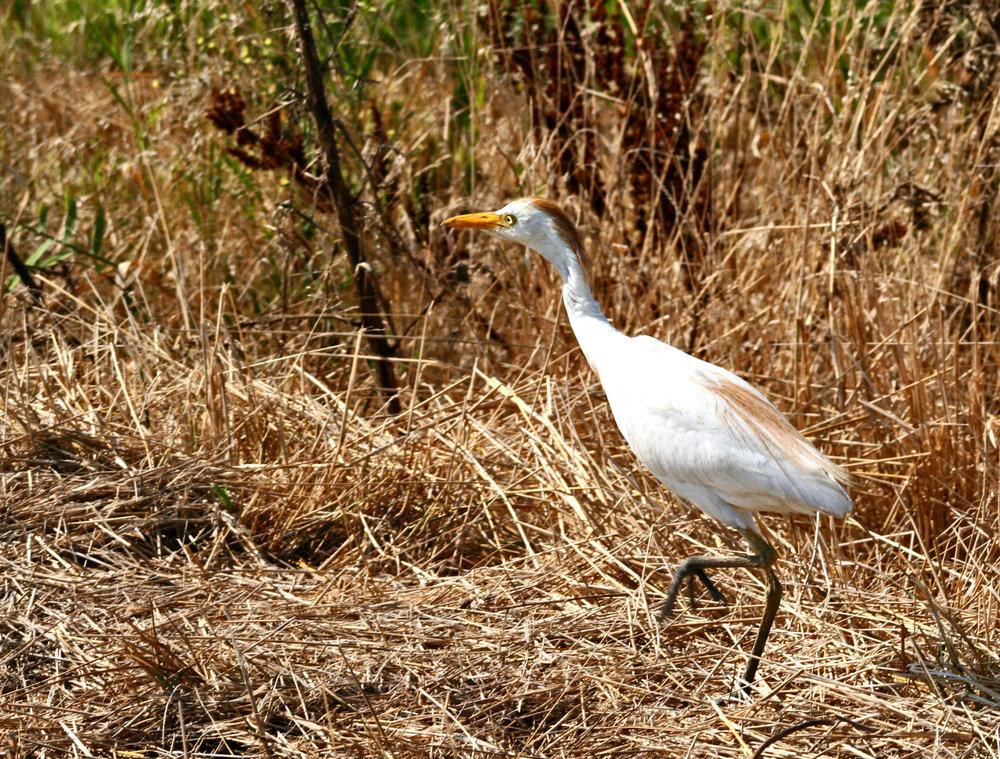 Cattle Egret in the Weeds at Forsythe.jpg