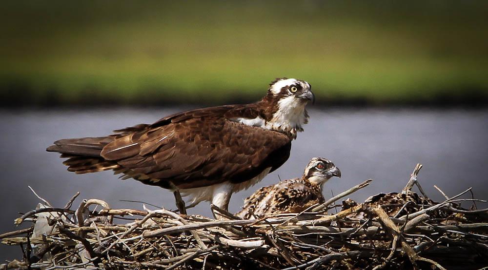 Osprey & Chick (1 of 1).jpg