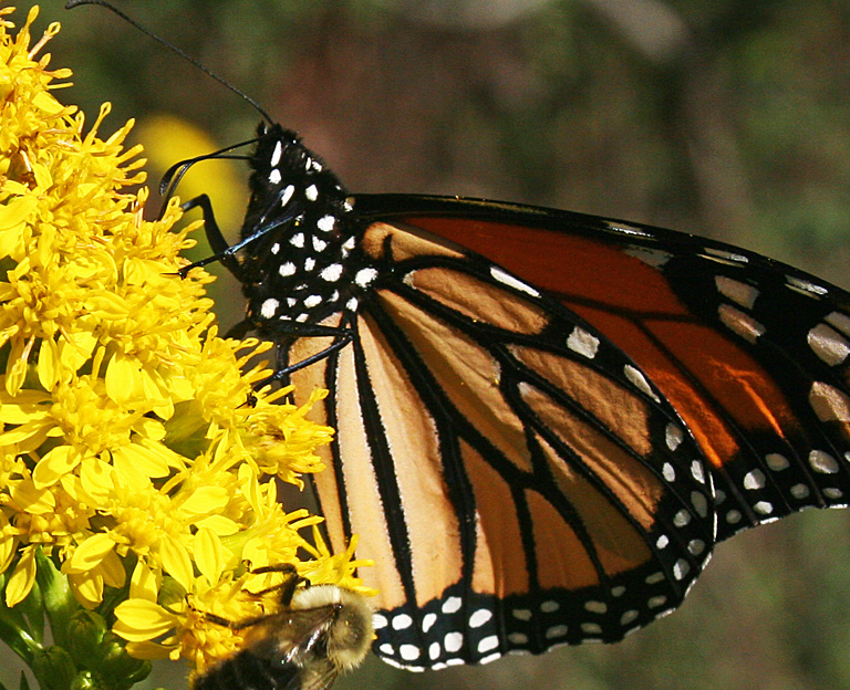 Monarch Butterfly Dining.jpg