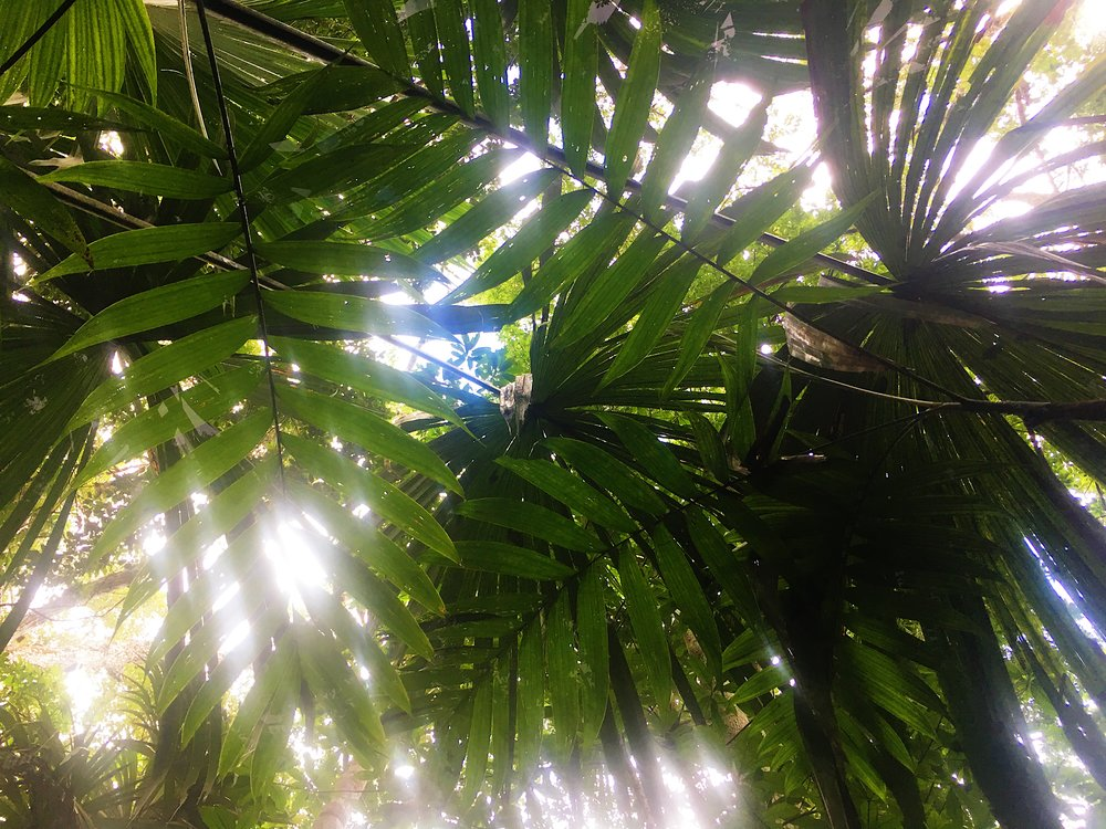 Jungle palms in the Tikal National Park.