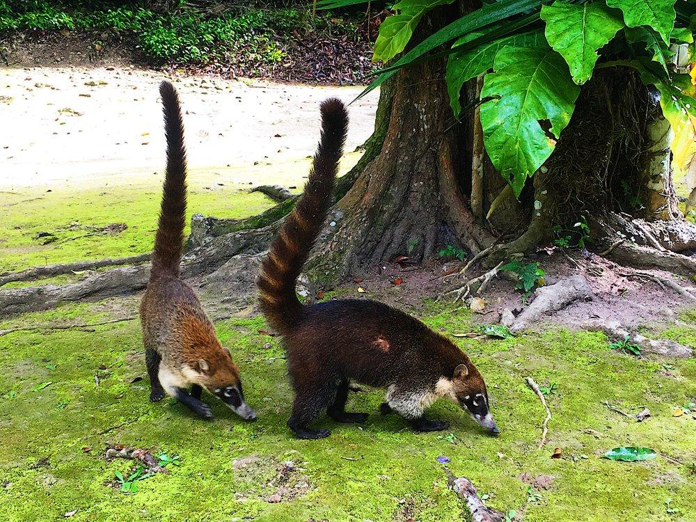 Coatamundis munching vegetation in the Tikal National Park.