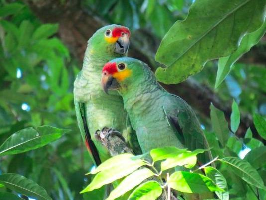 Green parrots in Tikal. Image taken from Flickr.
