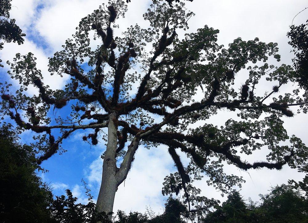 Ceiba Tree Top.JPG