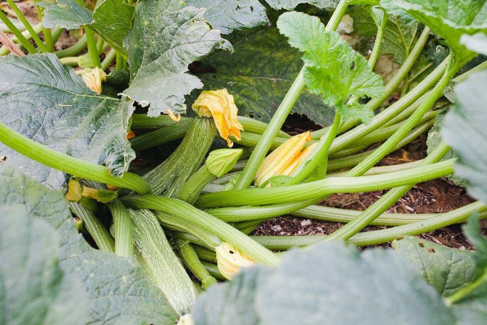 Zucchini_Growing_040_sRGB.jpg