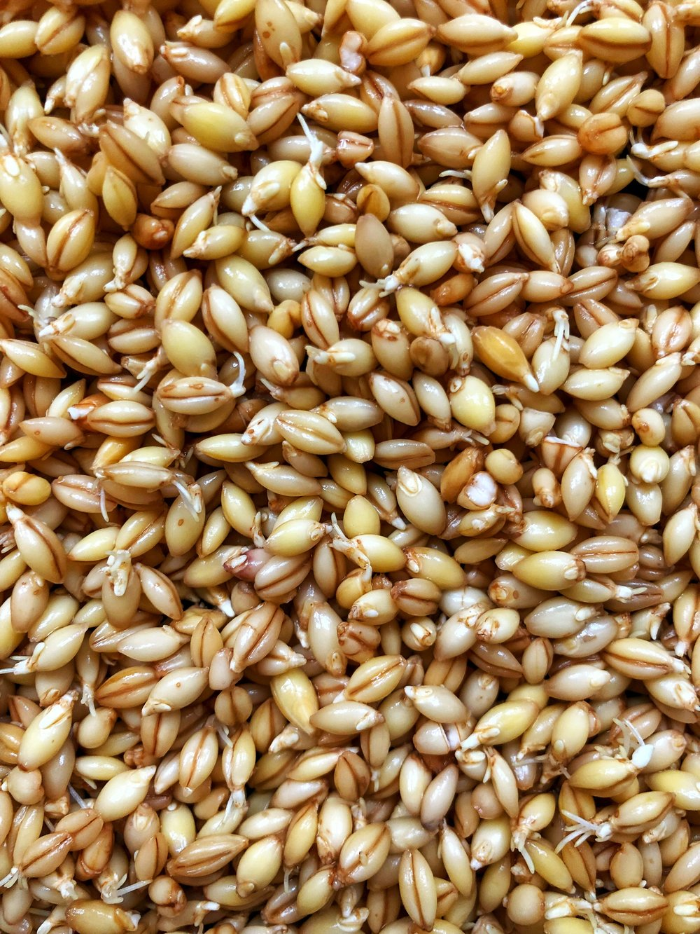 Sprouted Barley Grains