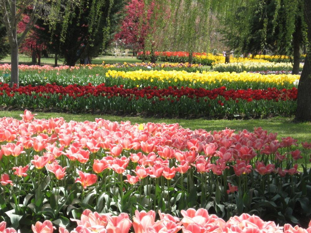 tulip tops market