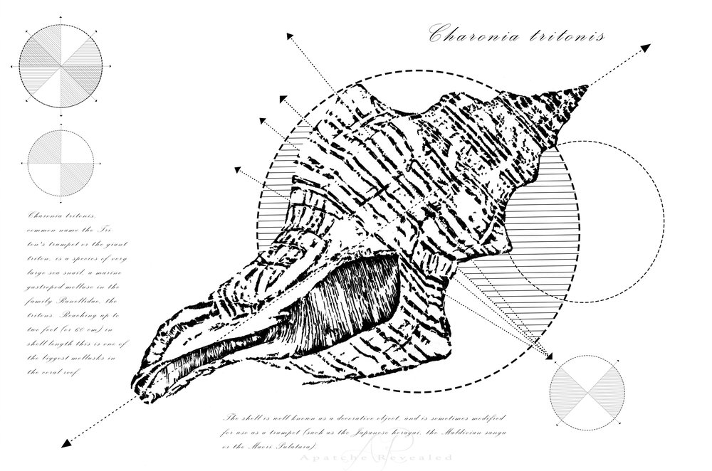 Geometry of a Charonia tritonis
