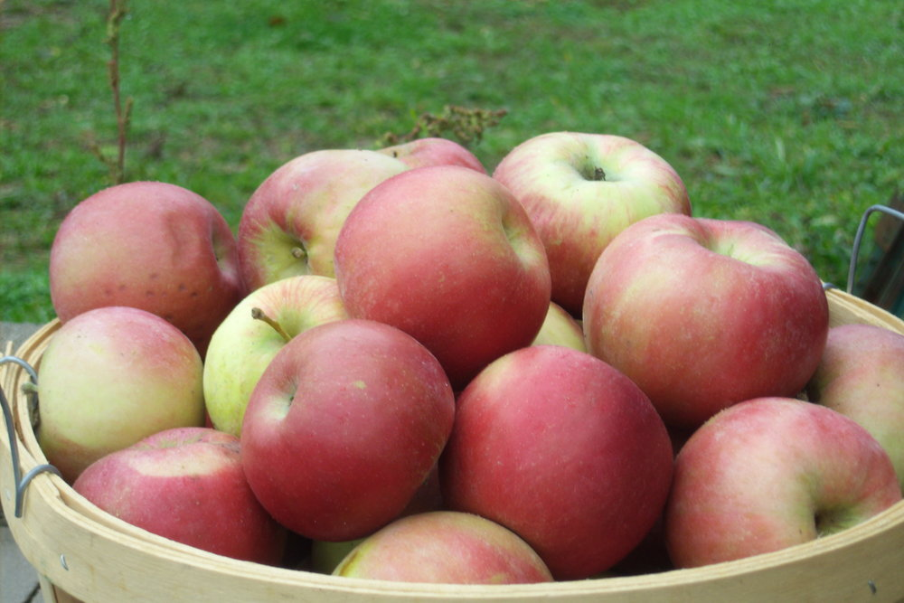 What We're Picking   Curious what's making it's way off the trees and onto the stand right now? Read here about our current varieties of apples, peaches, tomatoes, and more!   Click Here