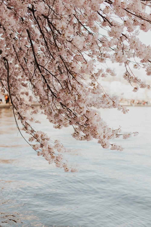 cherry_0002.jpg