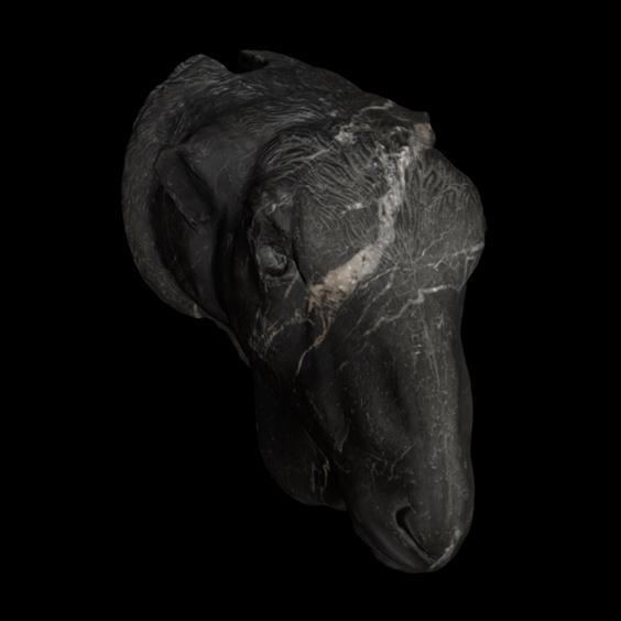 Ovis Steatopygia / n. 568