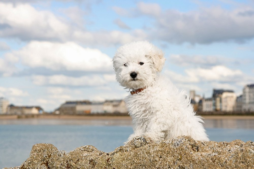 3_Dog_Breeds_That_Are_Perfect_for_the_Allergy_Prone_Pet_Lover.jpg