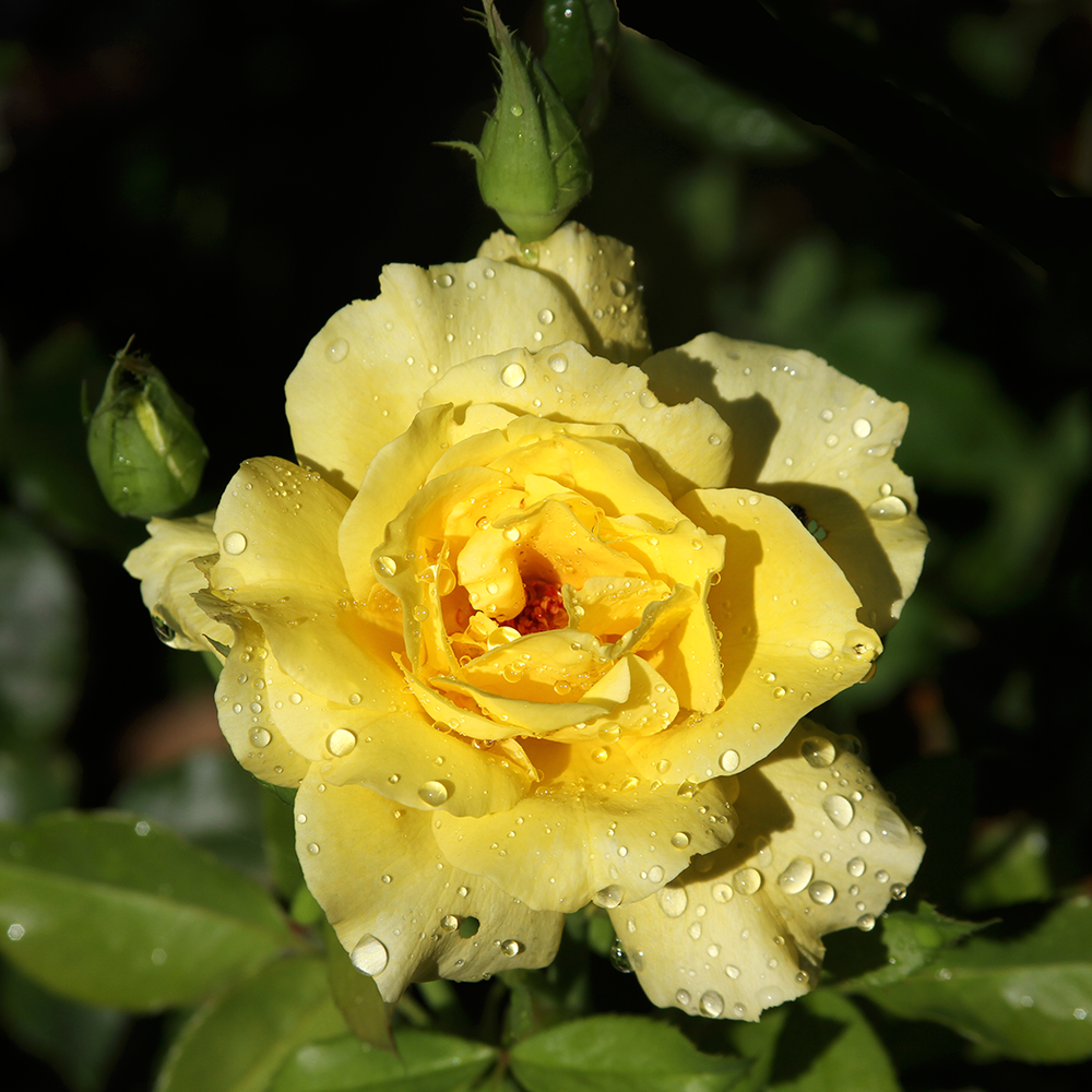 Yellow rose by laurie justus pace copyright 2012.png