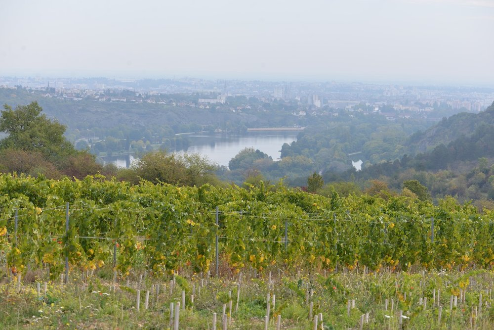 Dijon in the distance, newly planted Dijon vineyards in the foreground