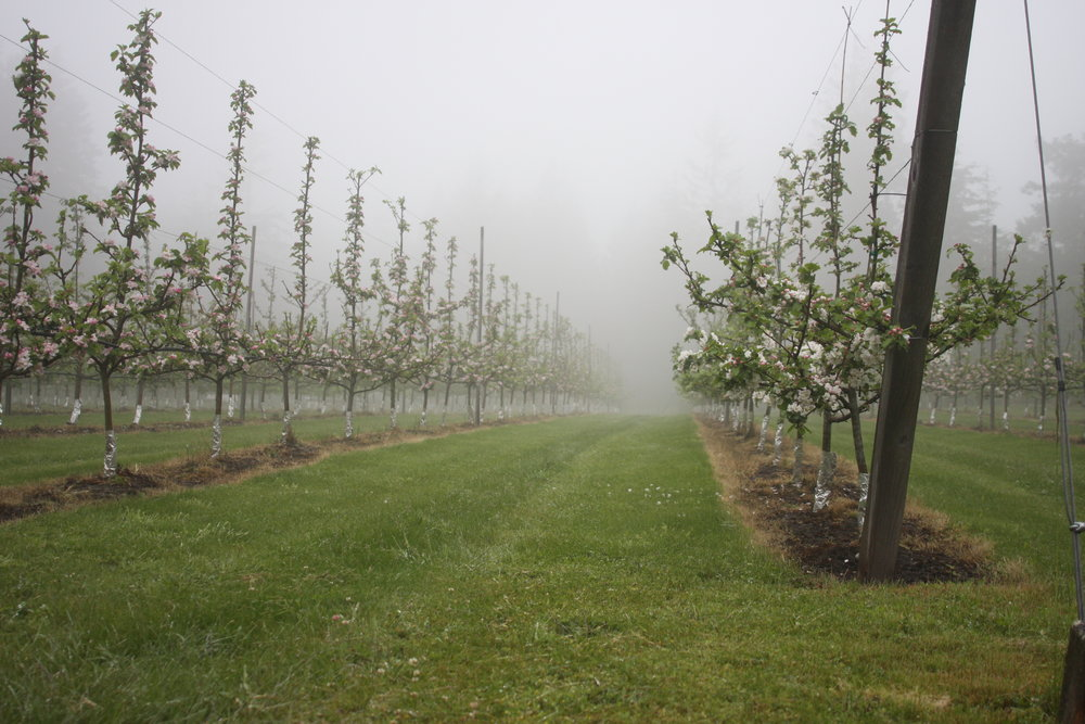 Orchard in the fog