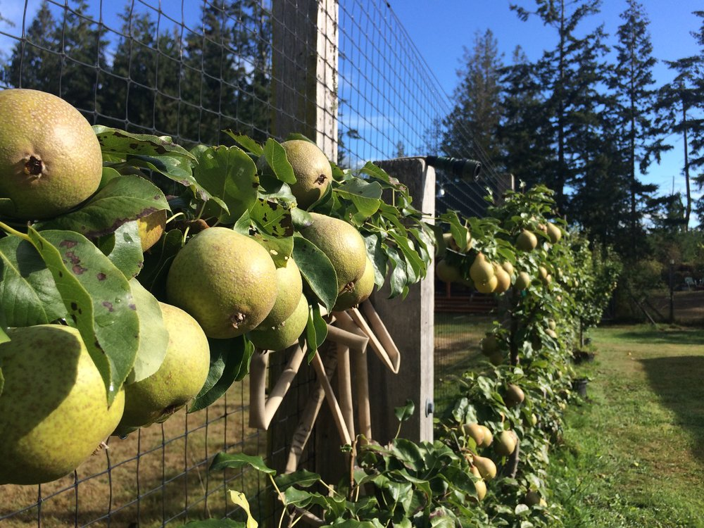 Perry Pears along the fence