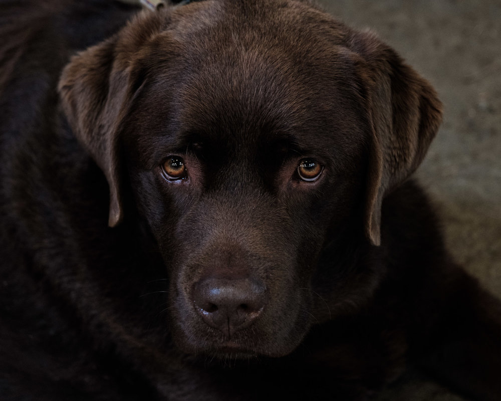 It would not be a proper Land Rover post without a photograph of a chocolate lab. Meet Harley, who also enjoyed the day.