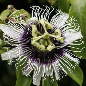 1-passionflower.jpg