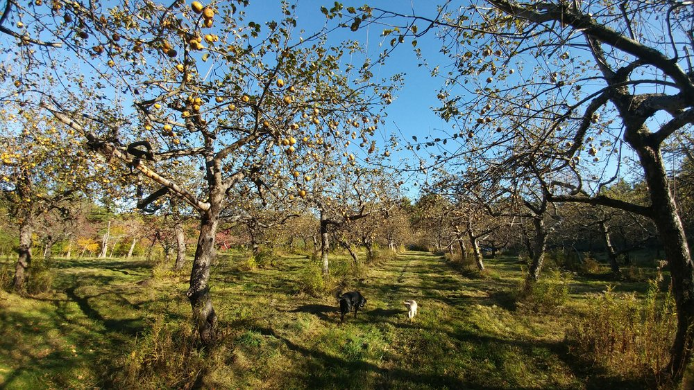 Dogs in orchard