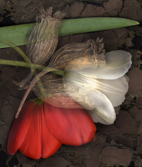 Two Tulips, Three pods, One Leaf