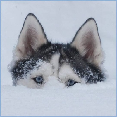 husky up to her eyeballs in snow.jpg
