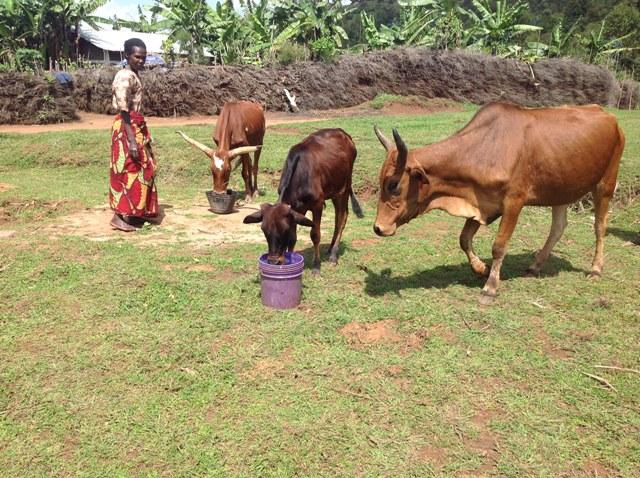 The cows drink clean water.JPG