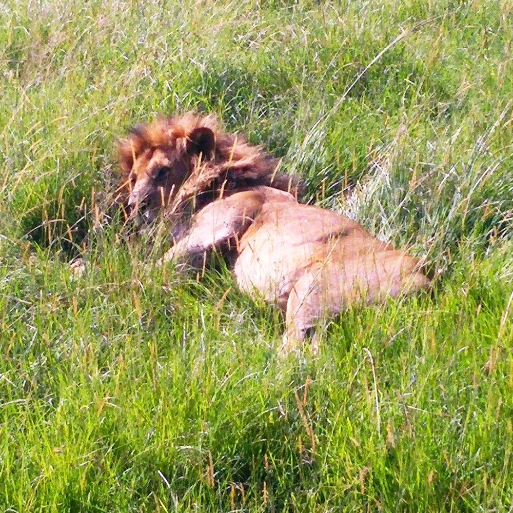 Lion resting 1x1.jpg