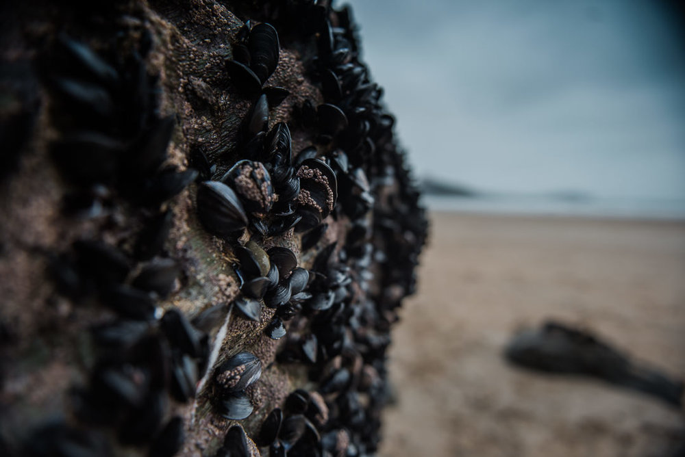 Mussels growing on rocks -7413.jpg