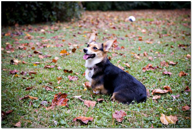 Corgi Small Dog Photo Atlanta Georgia