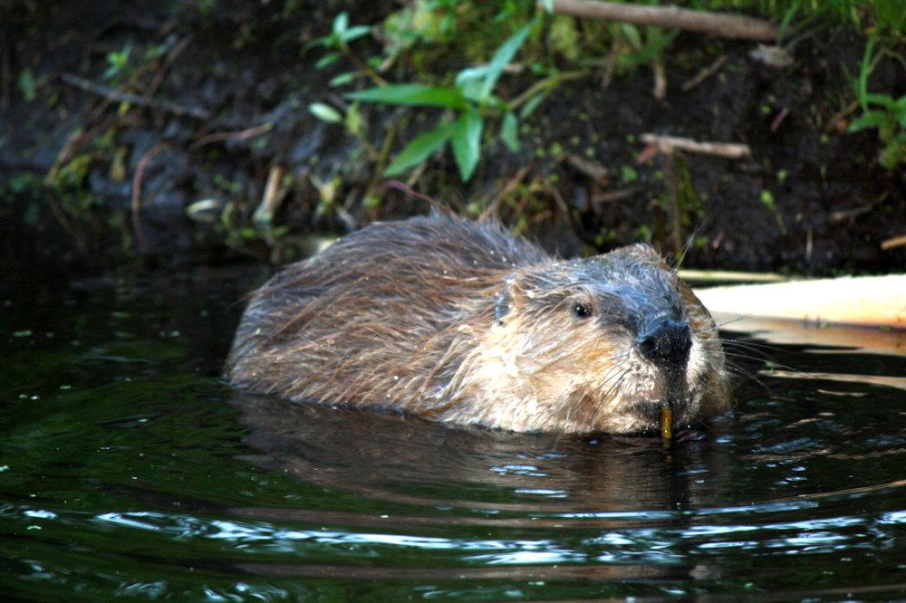 Moose Wilson Road - Beaver