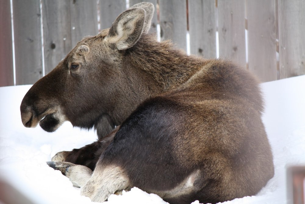 Moose in the Yard - taking a snooze  We had a moose visit our yard last winter.   This photo was taken out by our garden.  I'm sure she walked over the fence, the snow was so deep!  When we saw her, we opened the gates.  She got up and walked out!