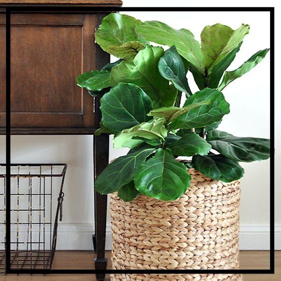 Fiddle Leaf Fig -