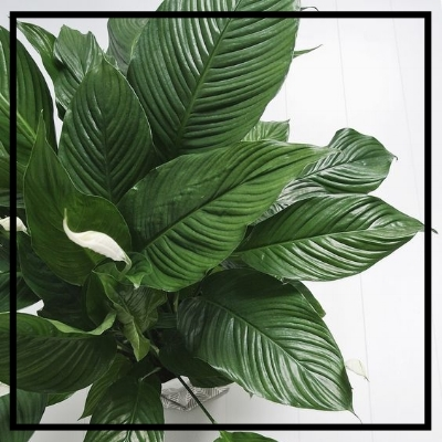 Peace Lily -